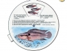 Akvarijní ryby s mláďaty